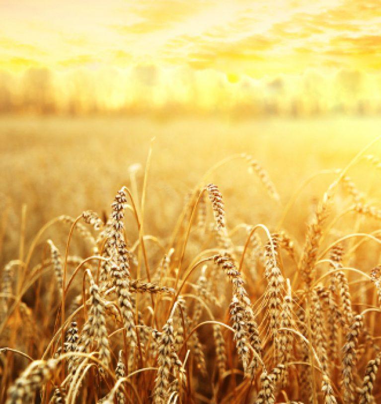 В Украине собрали почти 49 млн тонн зерна