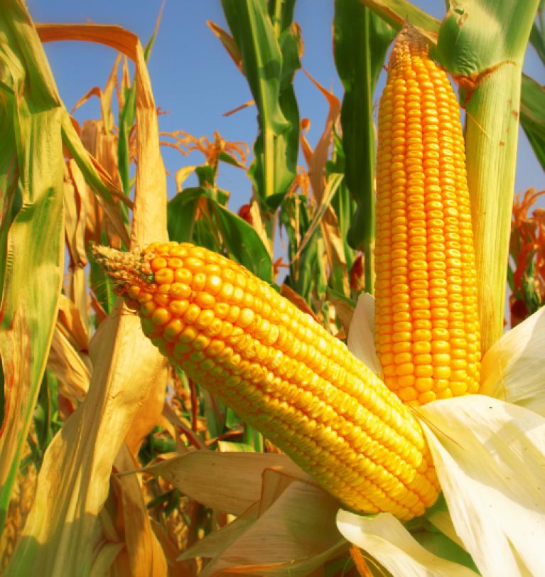 Доля украинской кукурузы на рынке Египта выросла до 36%