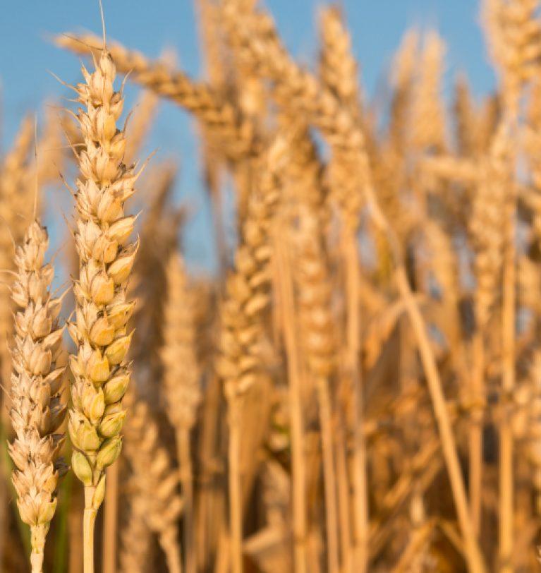 На Полтавщине выросла урожайность озимого ячменя на 12%