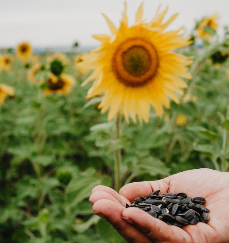 ТОП-3 экспортера украинских семян подсолнечника