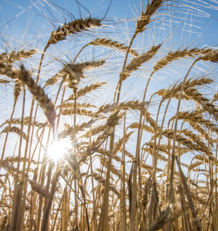 В Одесской области самая низкая урожайность пшеницы (данные)
