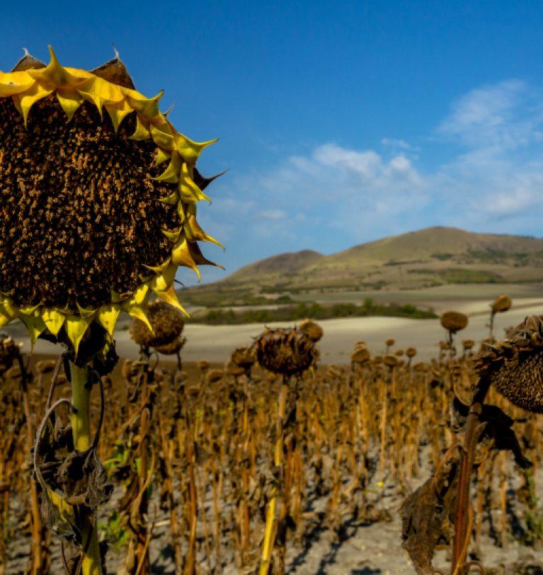Урожайность подсолнечника в Украине снизится (эксперты)