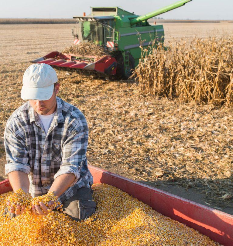 Цены на кукурузу достигли максимальных показателей