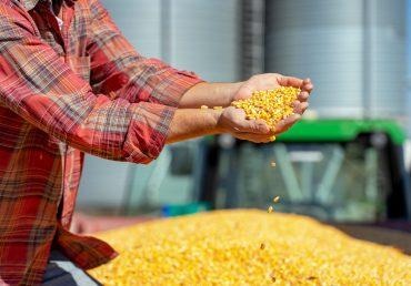 Специалисты прогнозируют дефицит кукурузы в январе