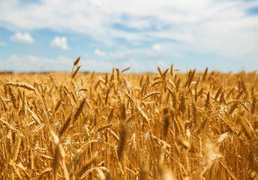 Бангладеш планує закупити українську пшеницю замість російської