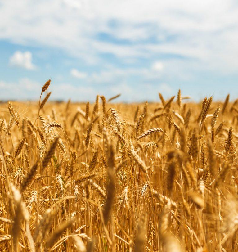 Бангладеш планирует закупить украинскую пшеницу вместо российской