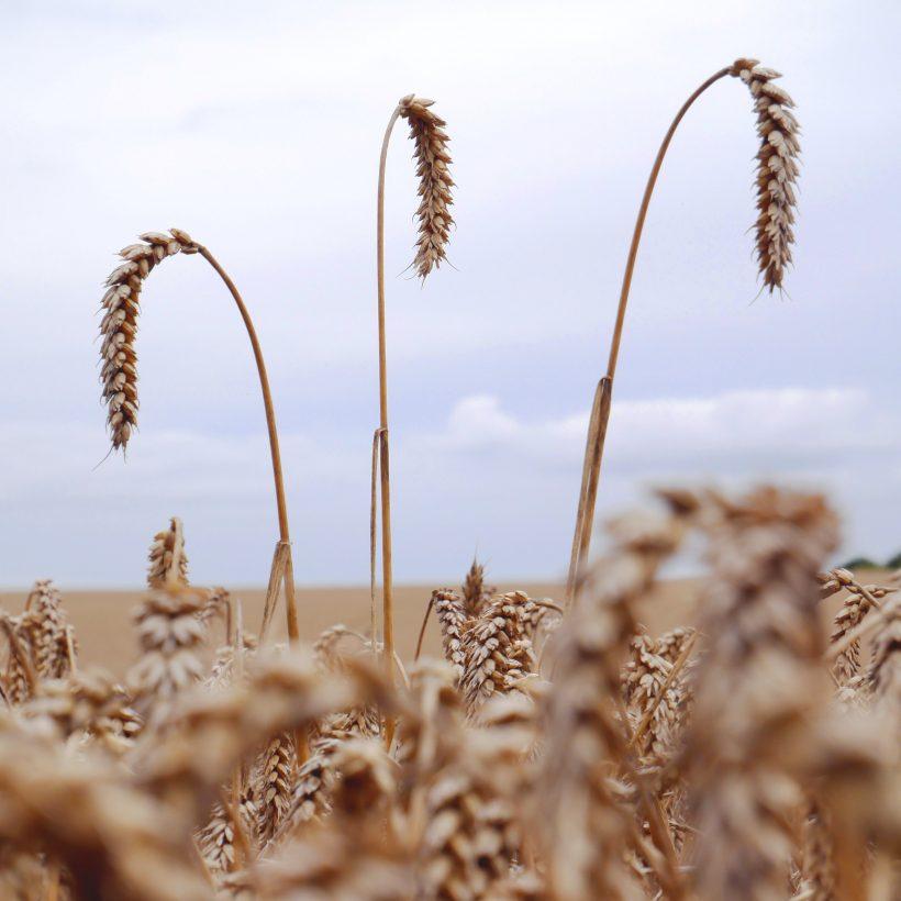 Названо причини падіння цін на пшеницю