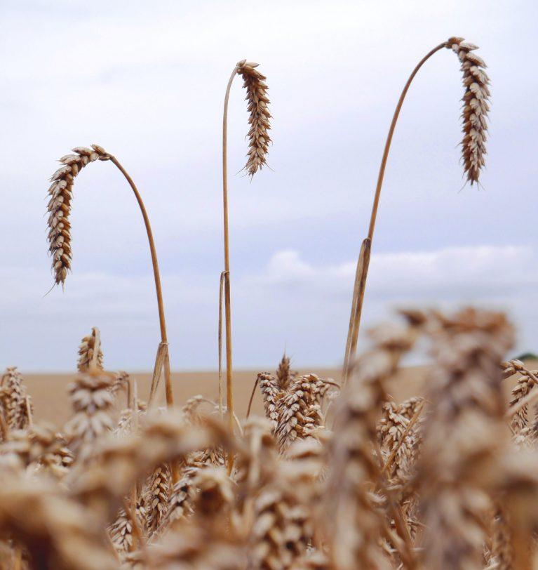 Названы причины падения цен на пшеницу
