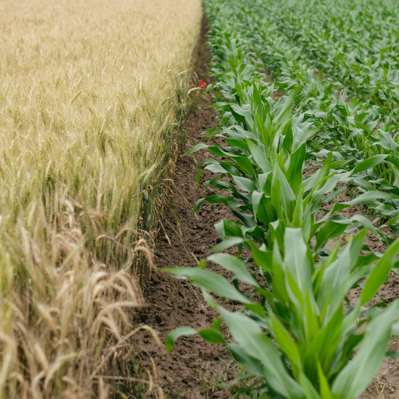 Валовий збір зернових майбутнього сезону перевищить показники минувшого (експерт)