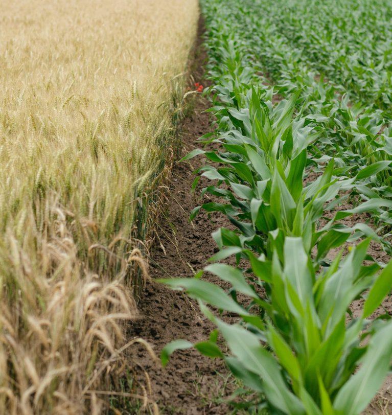 Валовый сбор зерновых будущего сезона превысит показатели уходящего (эксперт)