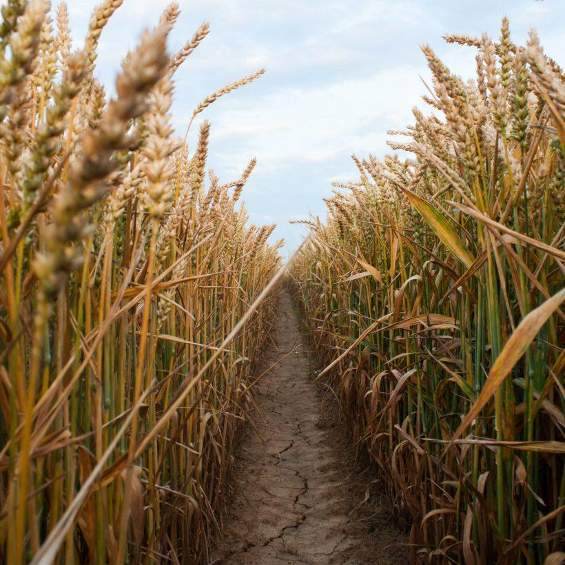Причини падіння цін на пшеницю. Думка експертів.