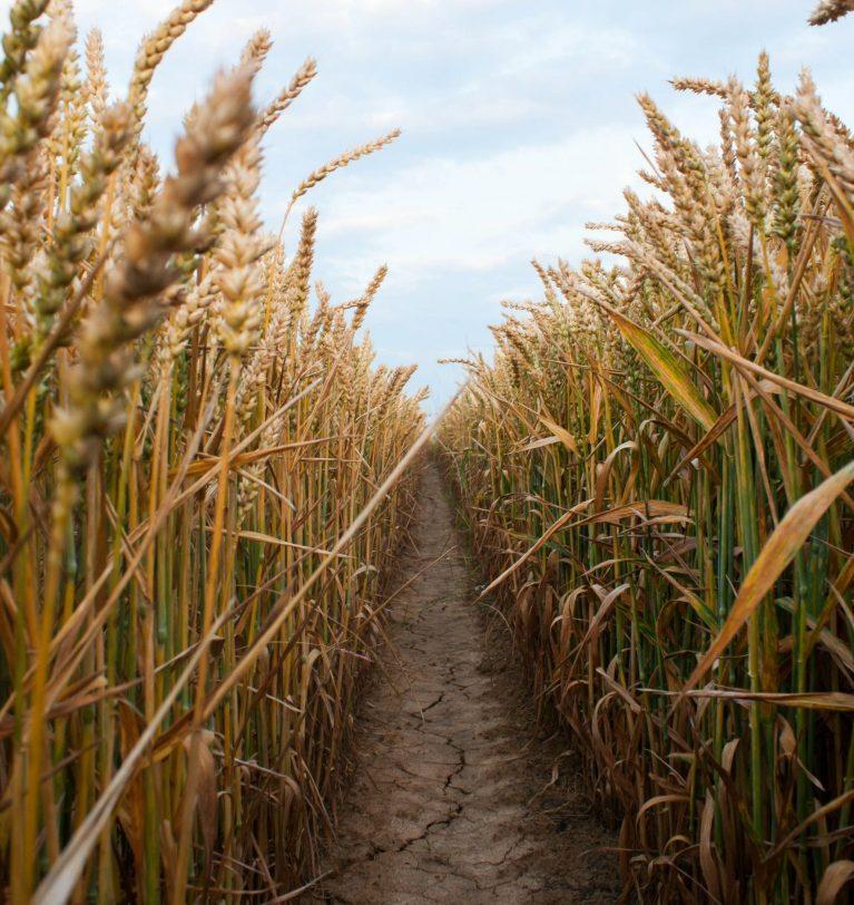 Причины падения цен на пшеницу. Мнение экспертов.