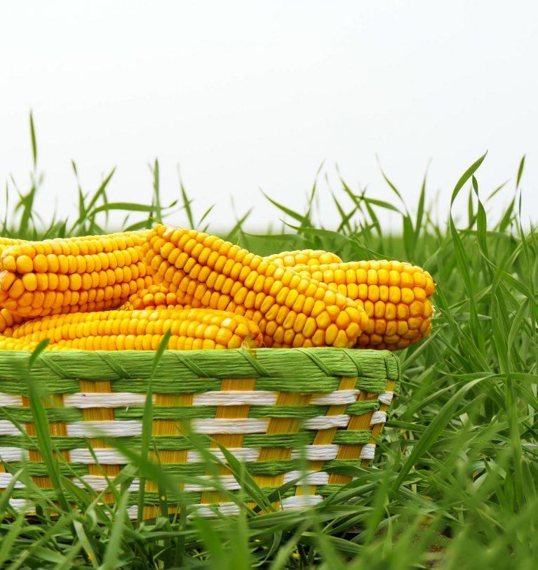 Китай продолжает увеличивать спрос на украинскую кукурузу нового урожая